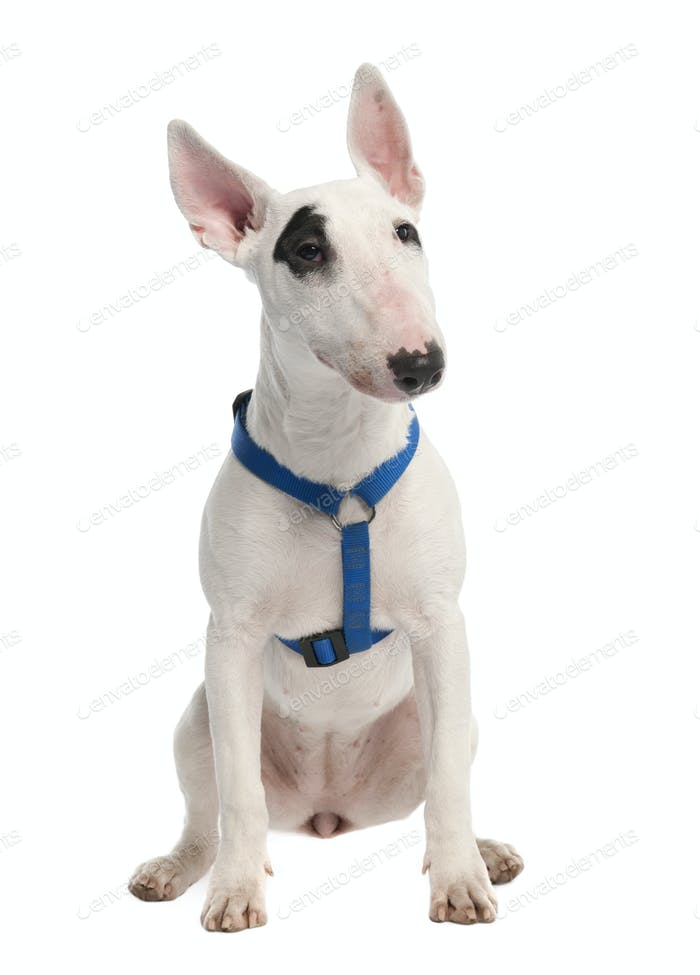 Bull Terrier puppy (7 months old)