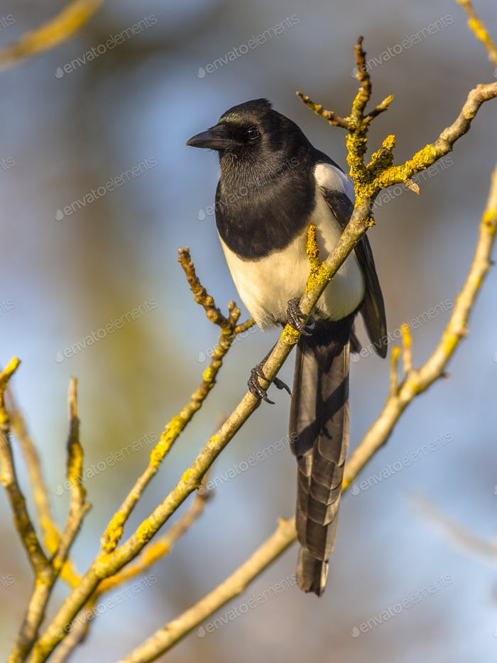 Eurasian magpie looking in camera