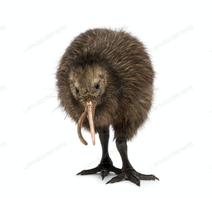 North Island Brown Kiwi eating an Earthworm Apteryx mantelli, 3 months old