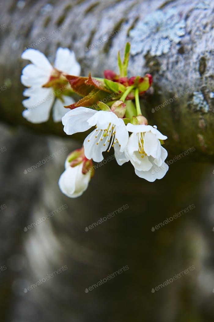 Kirschblüte im Jerte-Tal, Cáceres. Frühling in Spanien. Saison