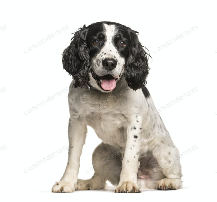 English Springer Spaniel dog sitting and panting, cut out