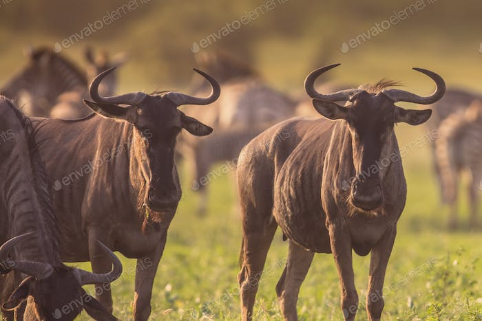 Blue Wildebeest herd grazing at Mooiplas