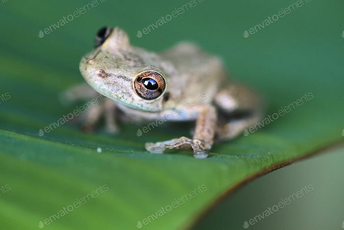 Olive-snouted Treefrog in Costa Rica