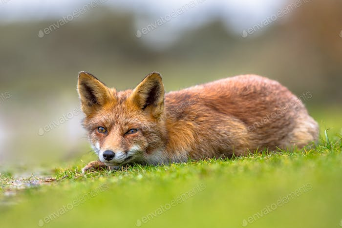 Vicious looking European red fox
