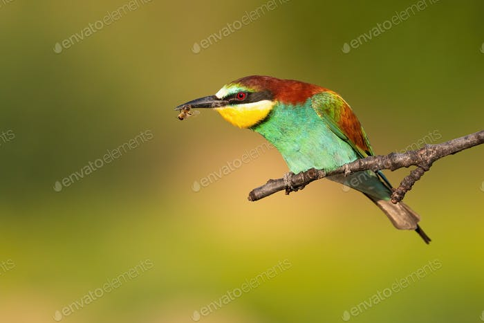 Colorful european bee-eater eating insect on a branch in summer