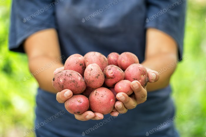 Harvest red potatoes in hands of woman farmer