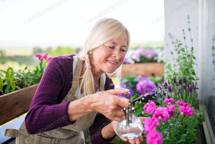 Senior woman gardening on balcony in summer, spraying plants