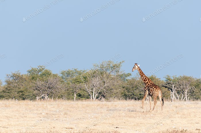 Namibian giraffe walking against a backdrop of mopani trees