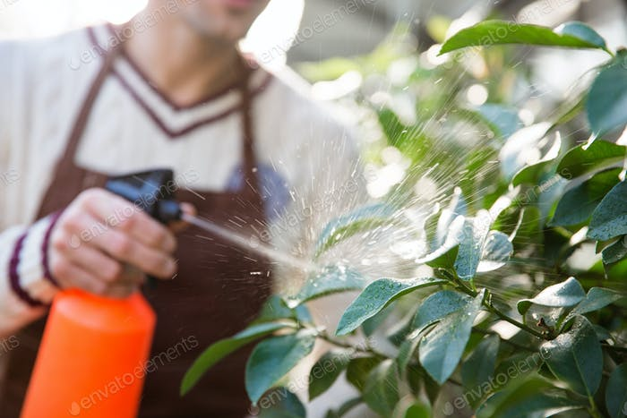 Closeup of man gardener spraying plants using water pulverizer