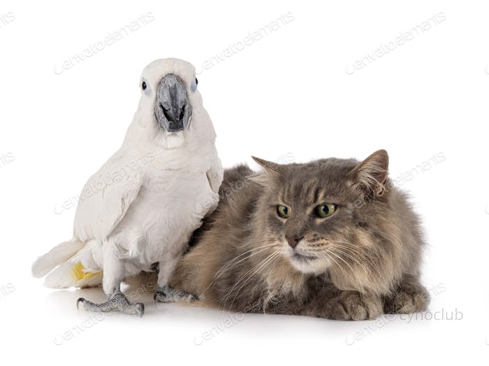 cat and White cockatoo