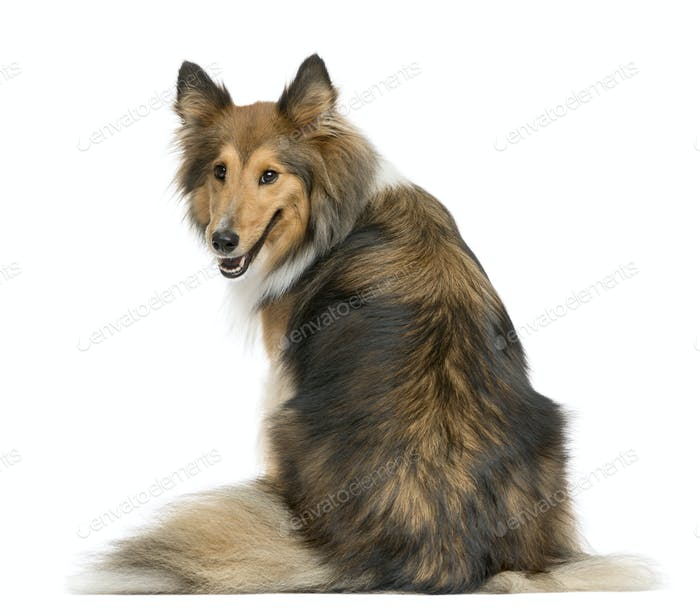 Rear view of a Shetland Sheepdog sitting in front of a white background