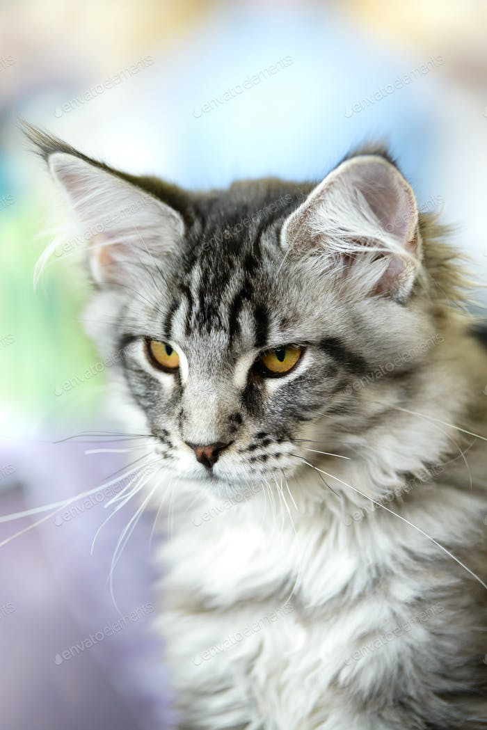 Grey-white tabby Maine Coon cat