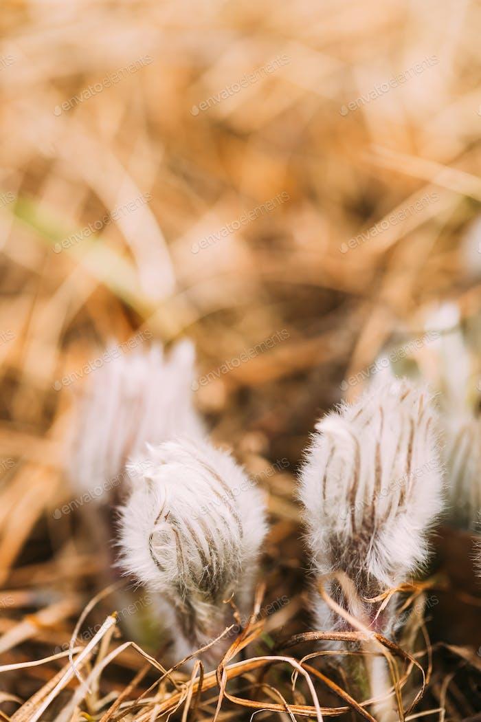 Wilder junger Pasqueflower. Blumen Pulsatilla Patens