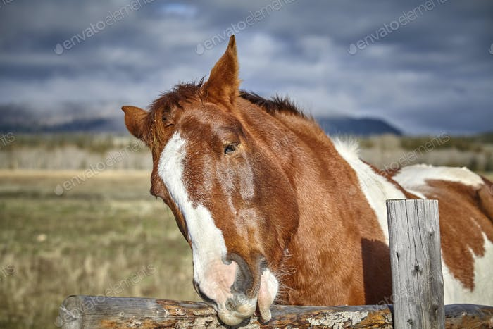 Portrait of a chestnut horse playing with wooden fence, Grand Te