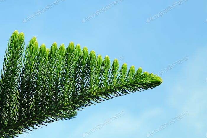 Agave americana tree