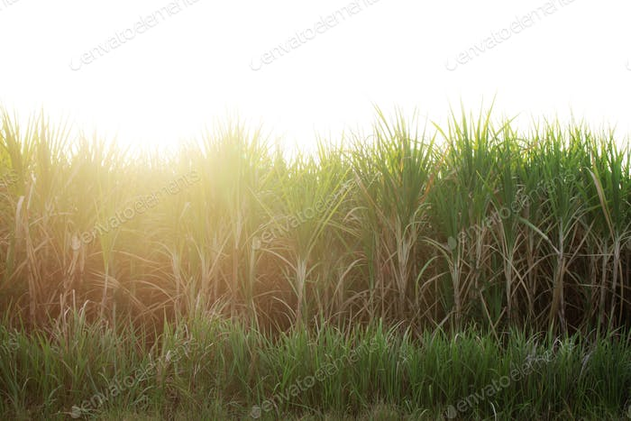 Sugar cane with sunset