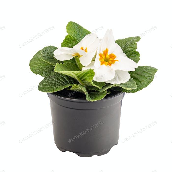 Potted white primrose in blossom