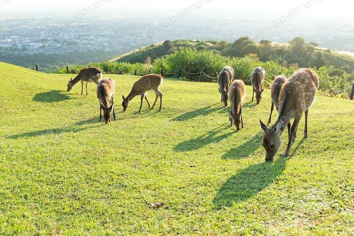 Cute Deer eating grass