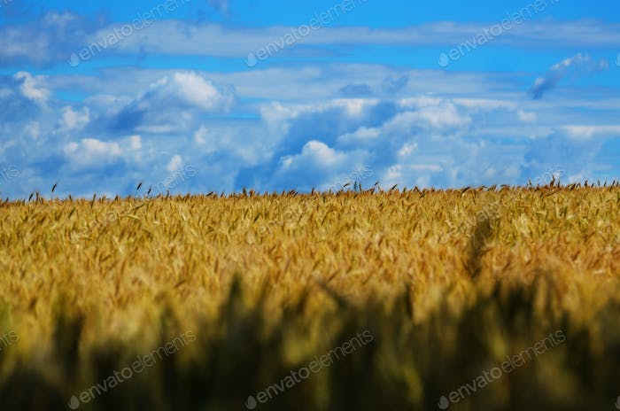 Wheat field summer sunny day under cloudy blue sky