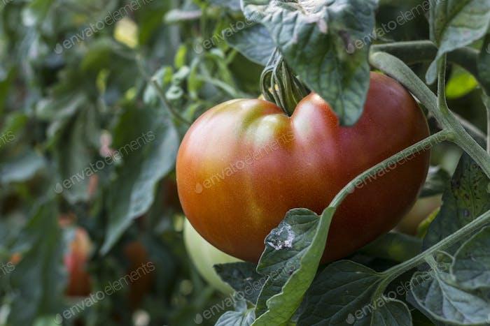 Image Of Tomato