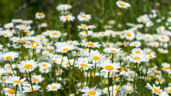 Summer white daisy flowers meadow
