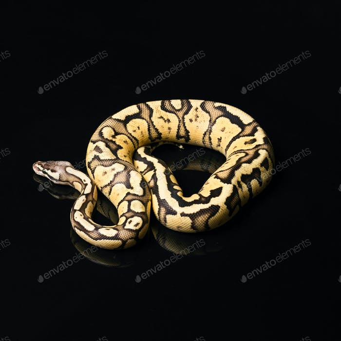 Weiblicher Ball Python. Glühwürmchen Morph oder Mutation