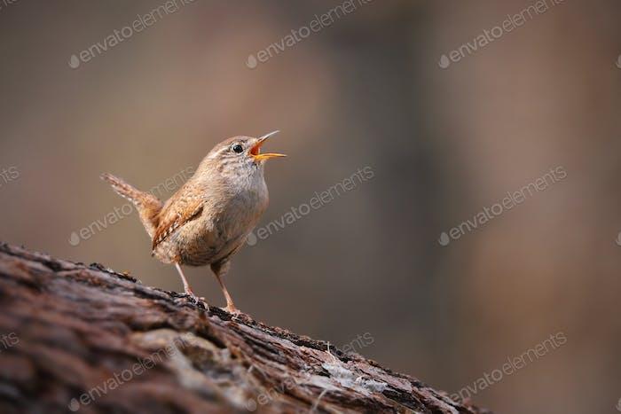 Minuscule troglodyte, troglodytes troglodytes, chantant dans la forêt de printemps