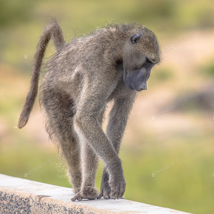 Chacma baboon walking on bridge
