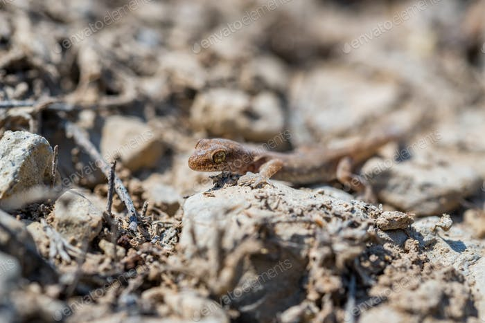 Close up cute small Even-fingered gecko genus Alsophylax on ground