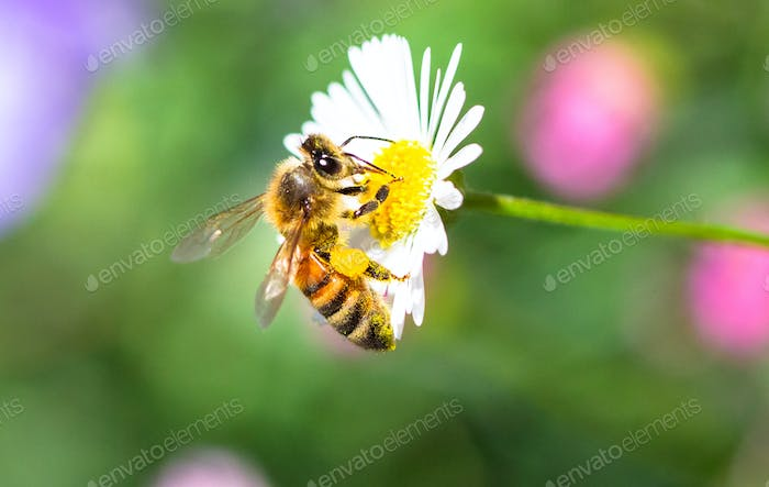 Honeybee on a White and Yellow Flower