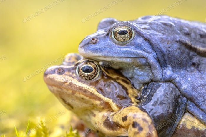 Moor frog couple