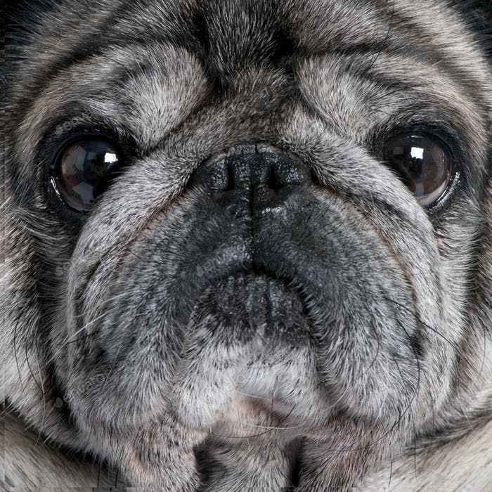 Close-up on a pug (8 years)