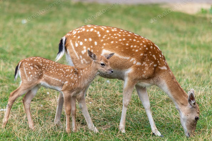 Mother roe and baby deer on the grass