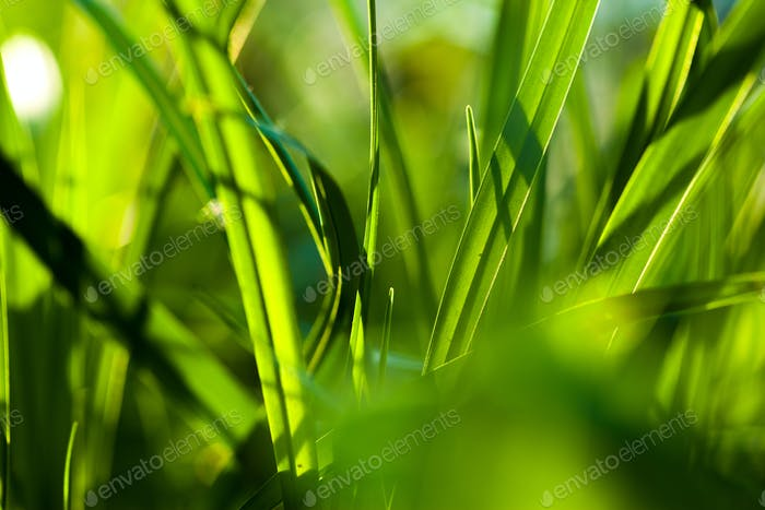 Grass. Close up