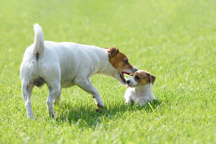 A small white dog puppy breed Jack Russel Terrier