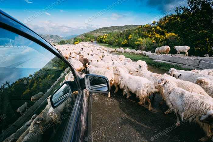 Georgia, Caucasus. View From The Car Window Of Flock Of Shaggy White Sheep Moving Along The Highway
