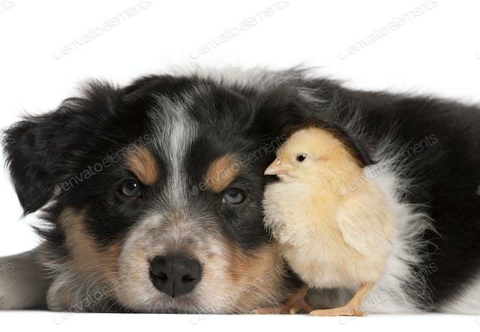 Border Collie puppy, 6 weeks old, playing with chick in front of white background
