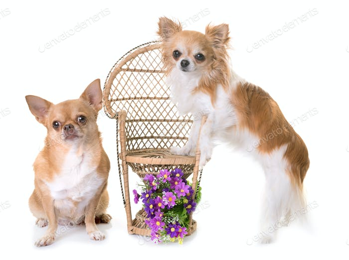 chihuahua on chair