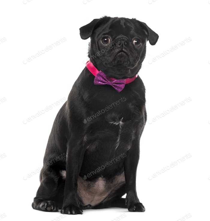 Close-up of an Pug in front of white background