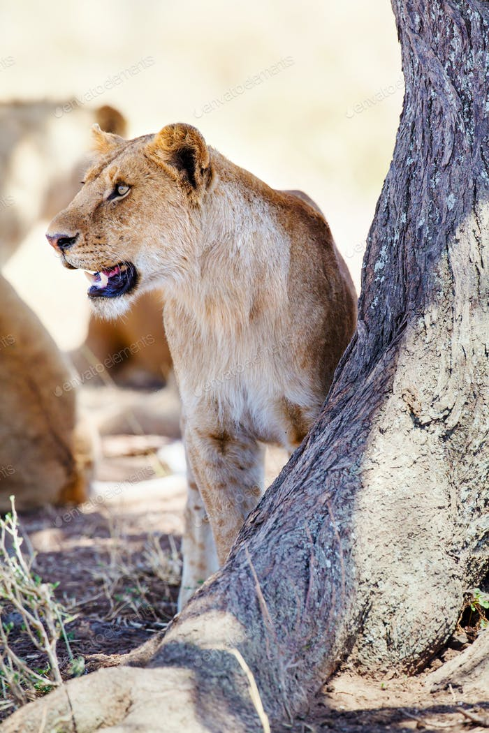 Lion standing by a tree