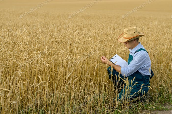 Farmer with clipboard inspecting crop at wheat field