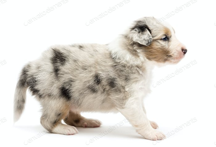Side view of an Australian Shepherd puppy standing and looking away against white background