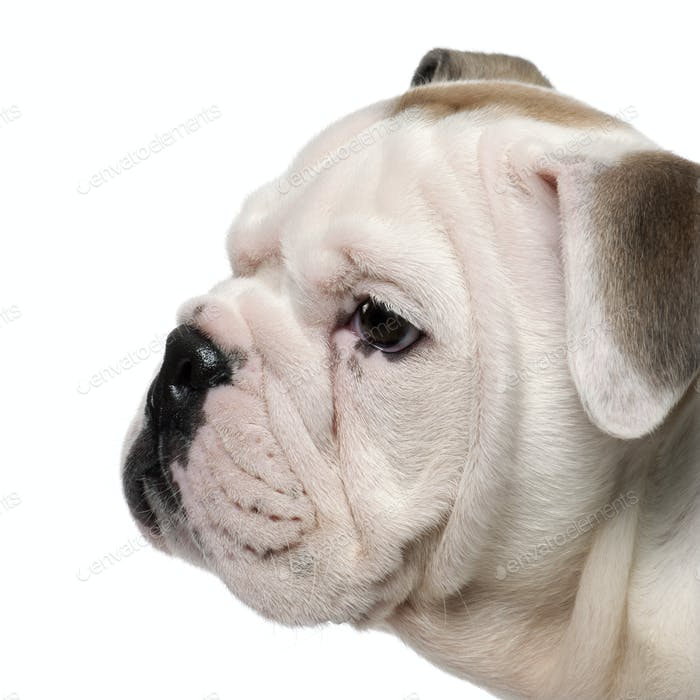 Close-up of English bulldog puppy, 2 months old, in front of white background