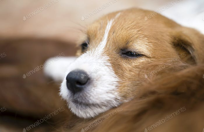 Dog love - sleepy pet jack russell terrier puppy