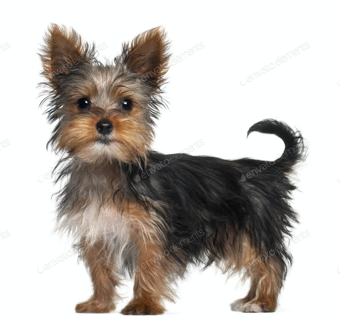 Yorkshire Terrier puppy, 8 weeks old, standing in front of white background