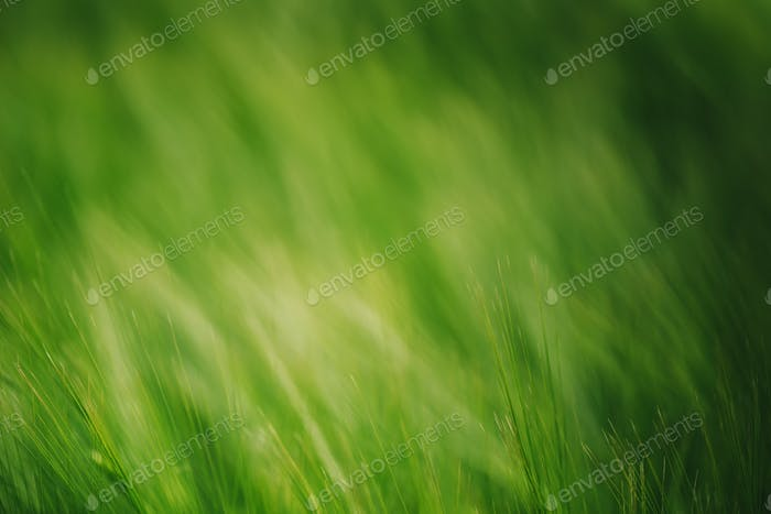 Green wheat in cultivated field as abstract agricultural backgro