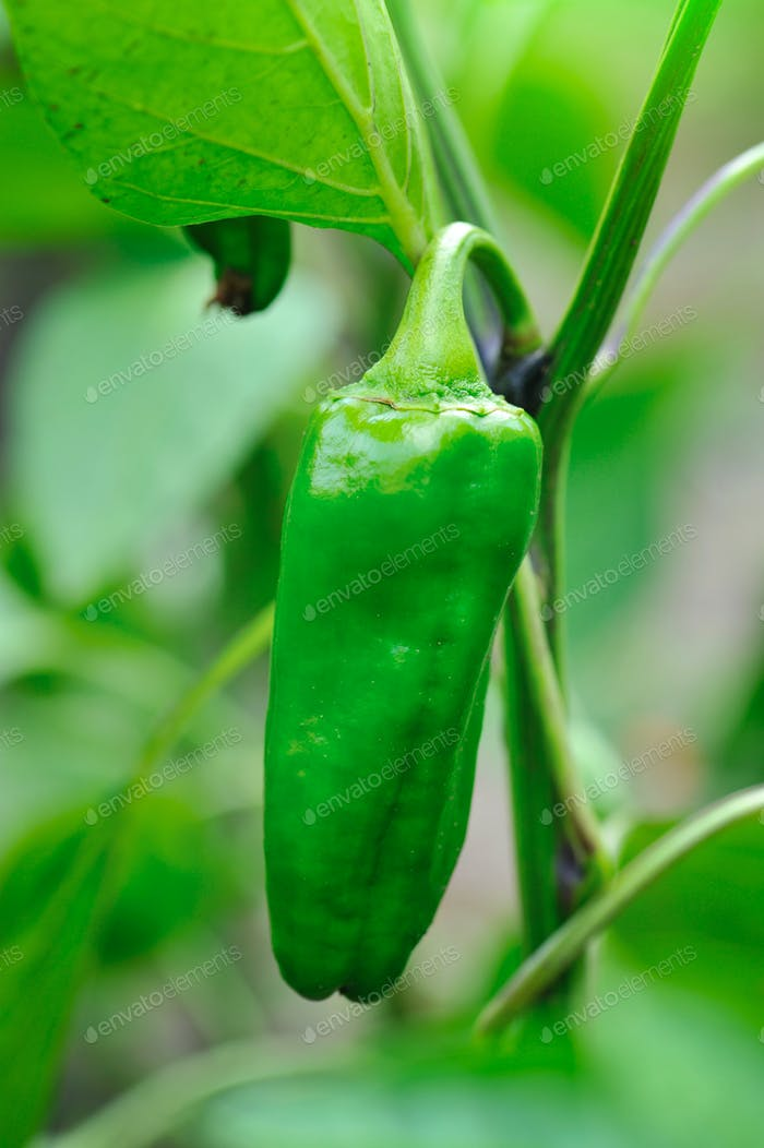 Growing green pepper close up (Capsicum annuum)