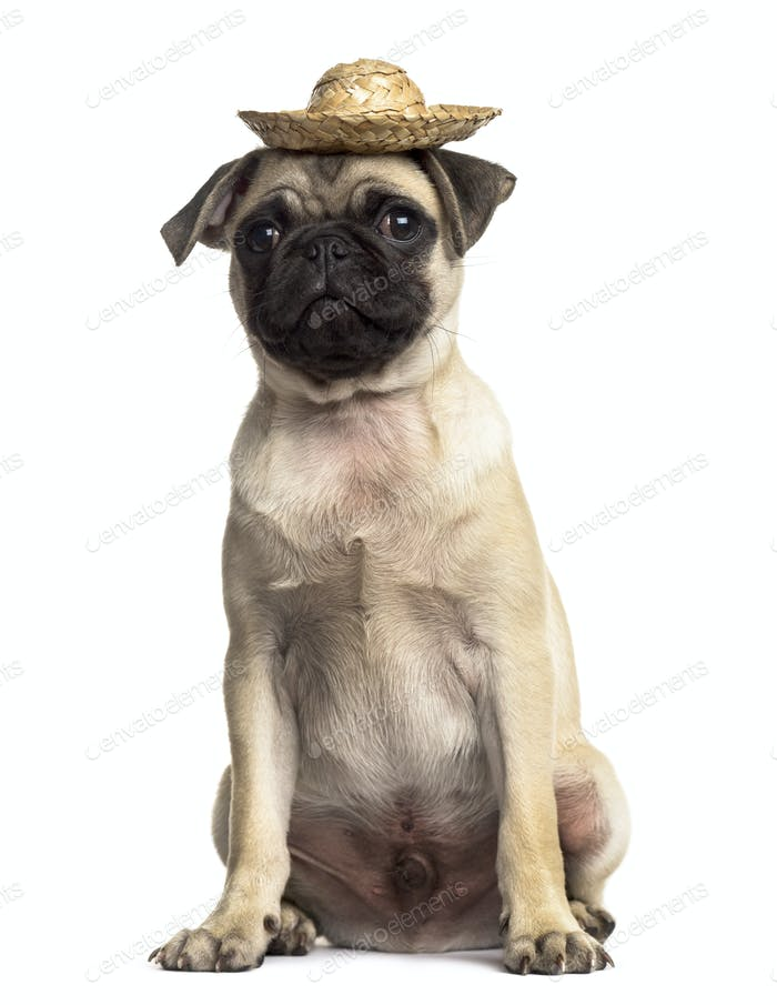 Pug sitting with a hat, isolated on white