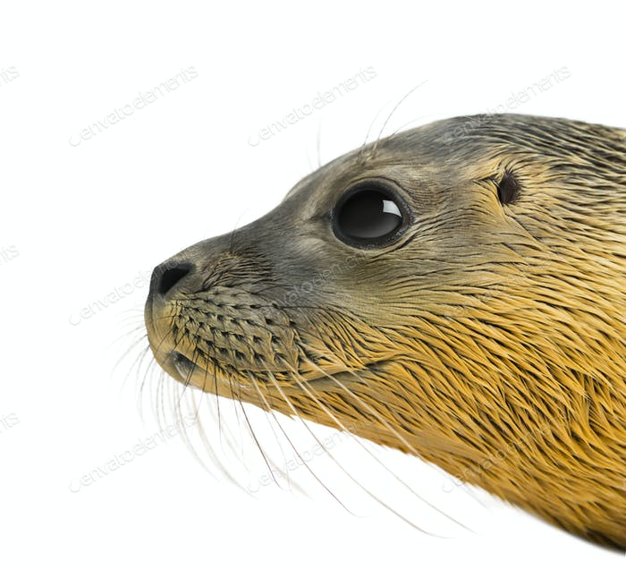 Close-up on the head of a Common seal pup, isolated on white
