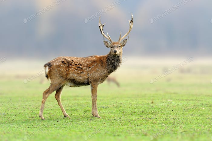 Deer in the wild. Wildlife scene from nature